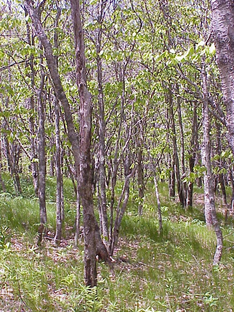 """<img typeof=""""foaf:Image"""" src=""""http://statelibrarync.org/learnnc/sites/default/files/images/early_succession.jpg"""" width=""""768"""" height=""""1024"""" alt=""""grassy bald is in an early stage of succession to hardwood forest"""" title=""""grassy bald is in an early stage of succession to hardwood forest"""" />"""