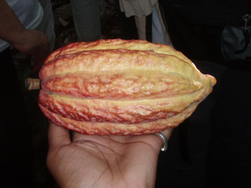 """<img typeof=""""foaf:Image"""" src=""""http://statelibrarync.org/learnnc/sites/default/files/images/p7080598r.jpg"""" width=""""1024"""" height=""""768"""" alt=""""Cacao pod close-up"""" title=""""Cacao pod close-up"""" />"""