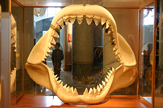 The jaws and teeth of a megalodon shark at the North Carolina Museum of Natural Sciences. Image from Flickr user Ryan Somma.