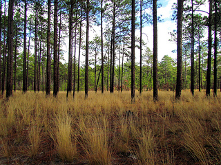 Weymouth Woods Sandhills State Nature Preserve, Southern Pines NC. Image courtesy of Flickr user Bobistraveling.