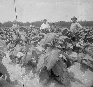 Group in tobacco field, no date (c.1920's-'30's). From the Dunn Area (Lewis White Studio) Photo Collection, PhC.121, North Carolina State Archives, Raleigh, NC, call #:  PhC.121-91  .